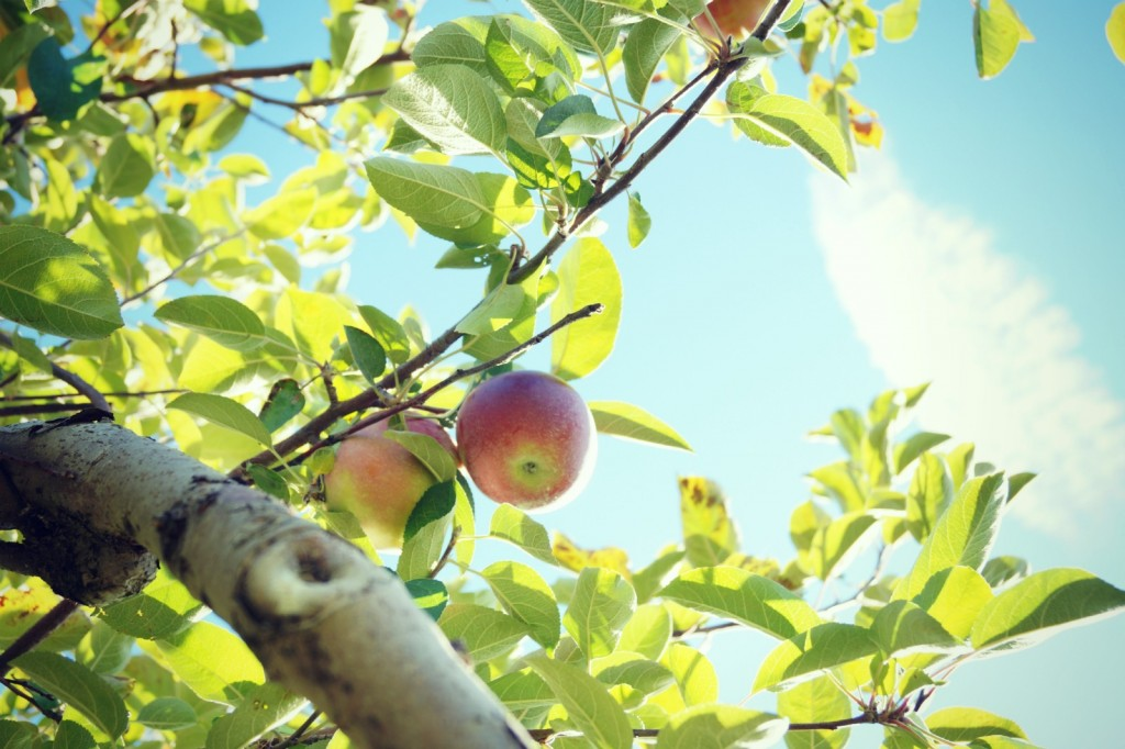 Hicks Orchard