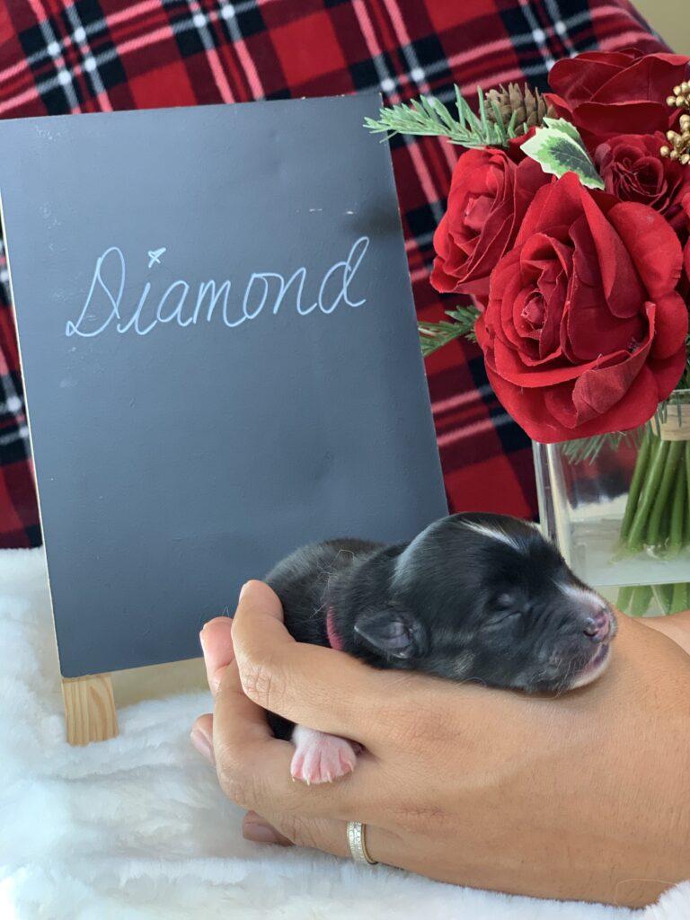 Diamond F1 Pomsky