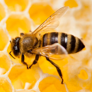 bee removal Pingree Grove il