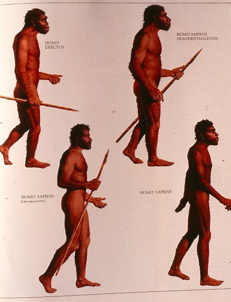 Figure 13. Illustrations of Homo erectus, neatherthalensis, and sapiens