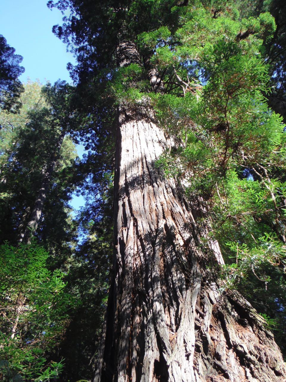Redwoods 2017 10 01 157 Of 244