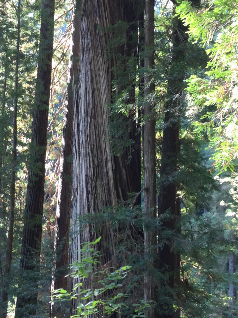 Redwoods 2017 10 01 174 Of 244