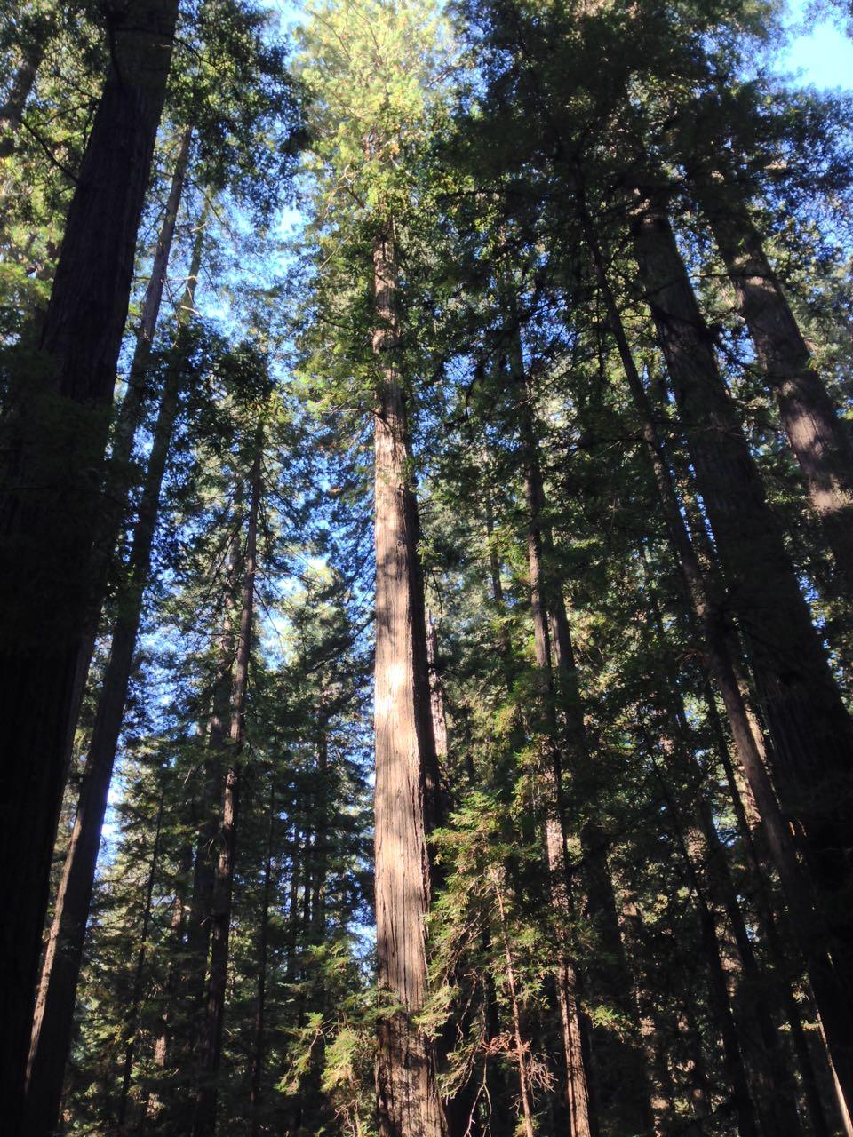 Redwoods 2017 10 01 18 Of 244
