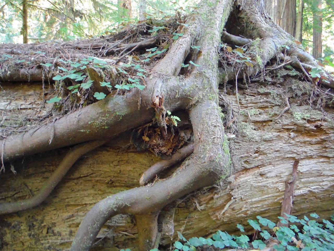 Redwoods 2017 10 01 235 Of 244