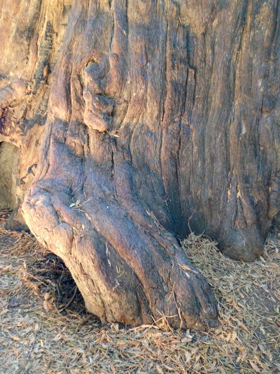 Redwoods 2017 10 01 28 Of 244