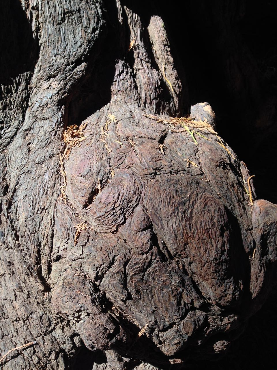 Redwoods 2017 10 01 29 Of 244