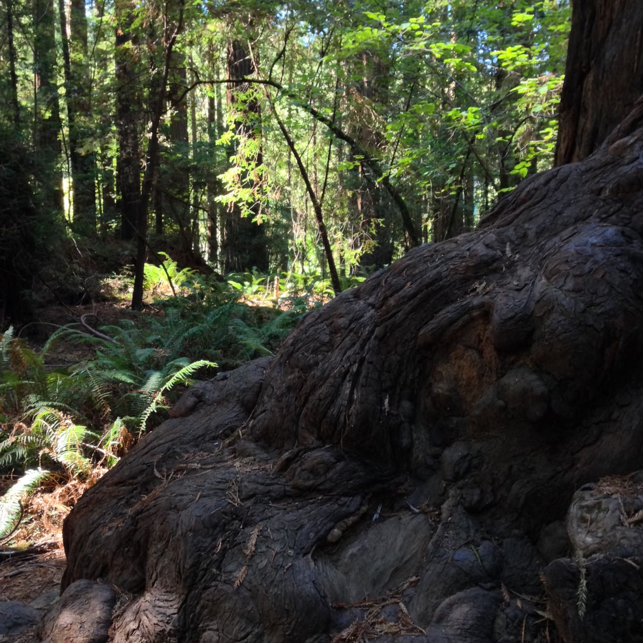 Redwoods 2017 10 01 31 Of 244