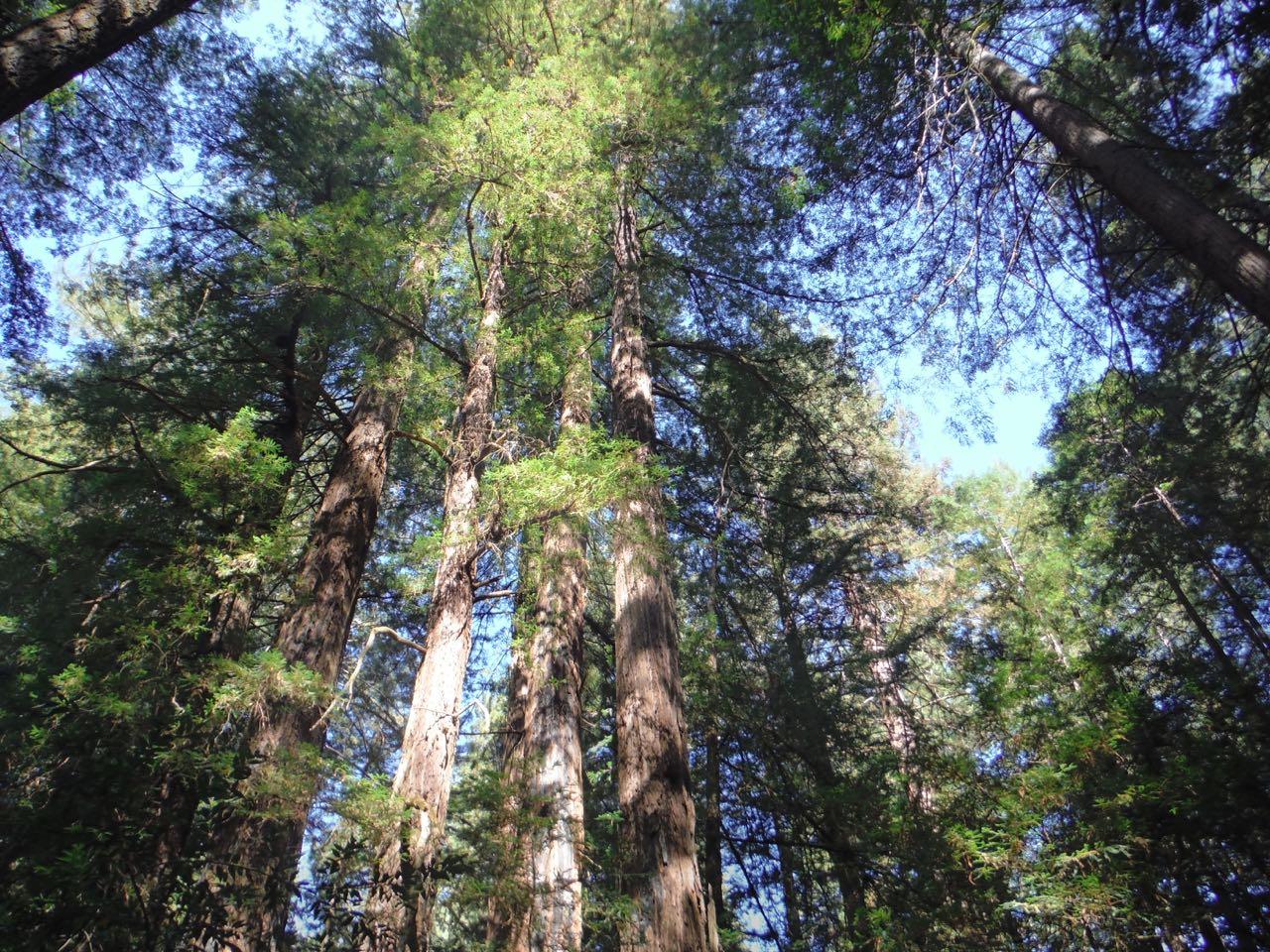 Redwoods 2017 10 01 35 Of 244