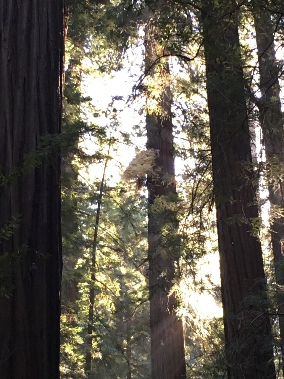 Redwoods 2017 10 08 17 Of 287