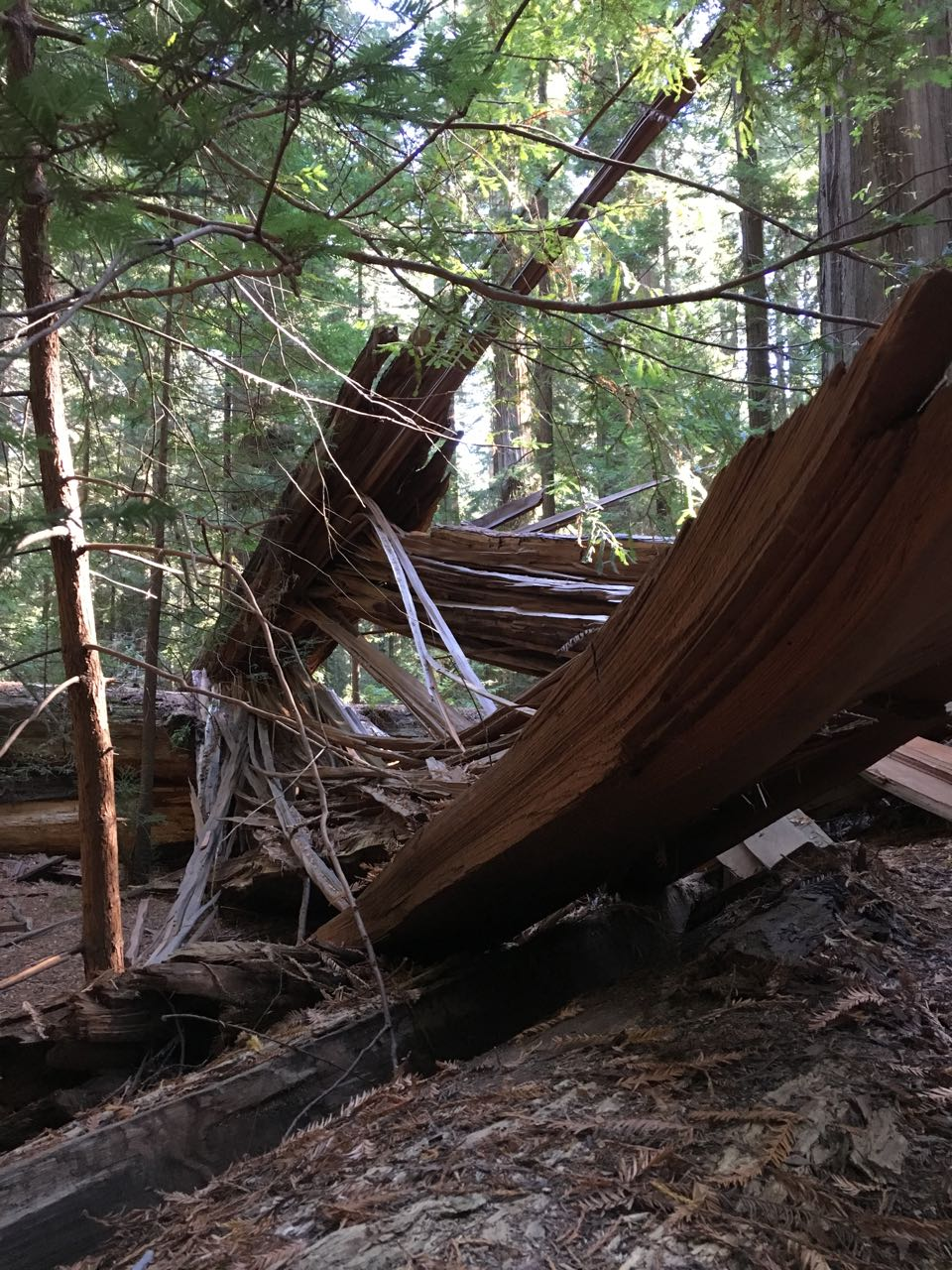Redwoods 2017 10 08 24 Of 287