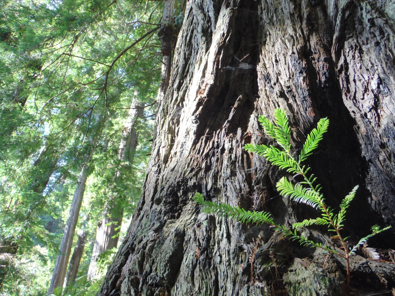 Redwoods 2017 10 08 246 Of 287