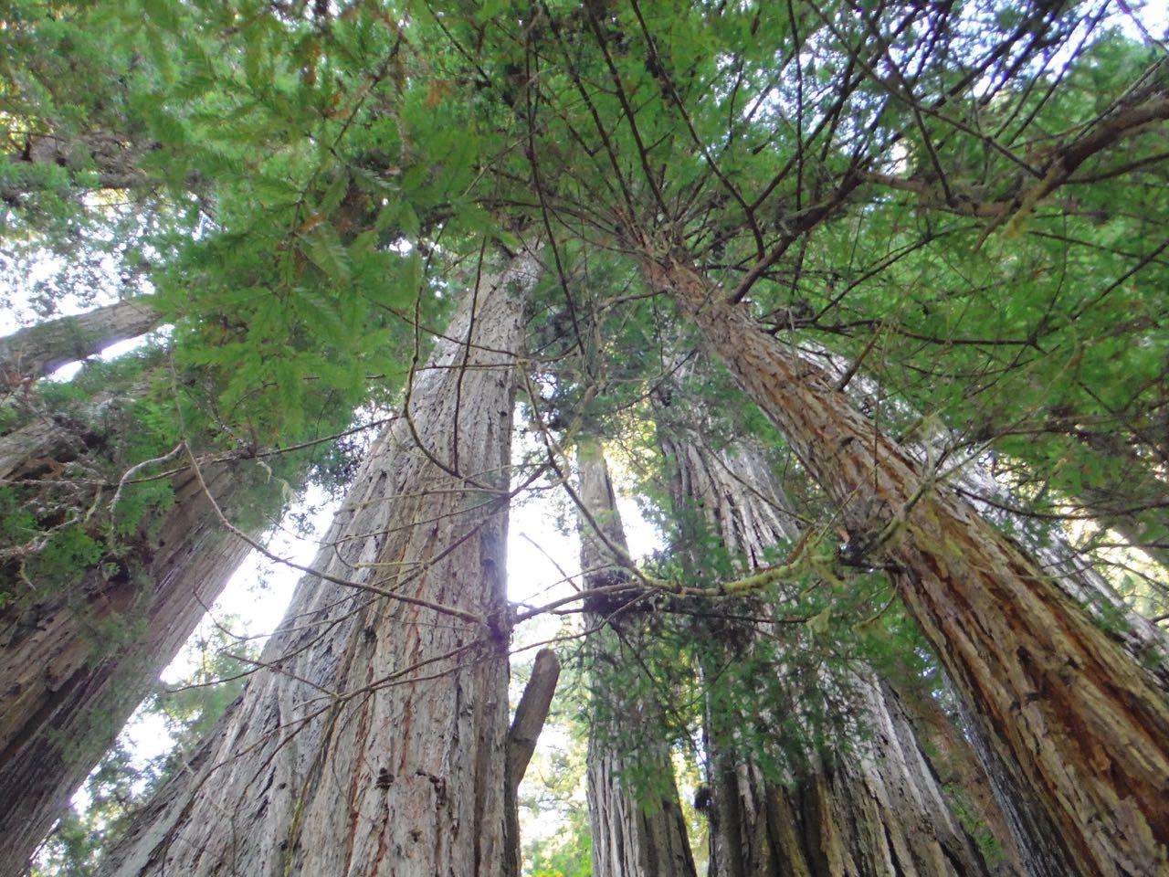 Redwoods 2017 10 08 278 Of 287