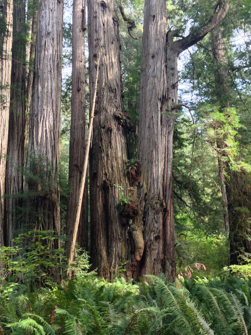 Redwoods 2017 10 08 279 Of 287