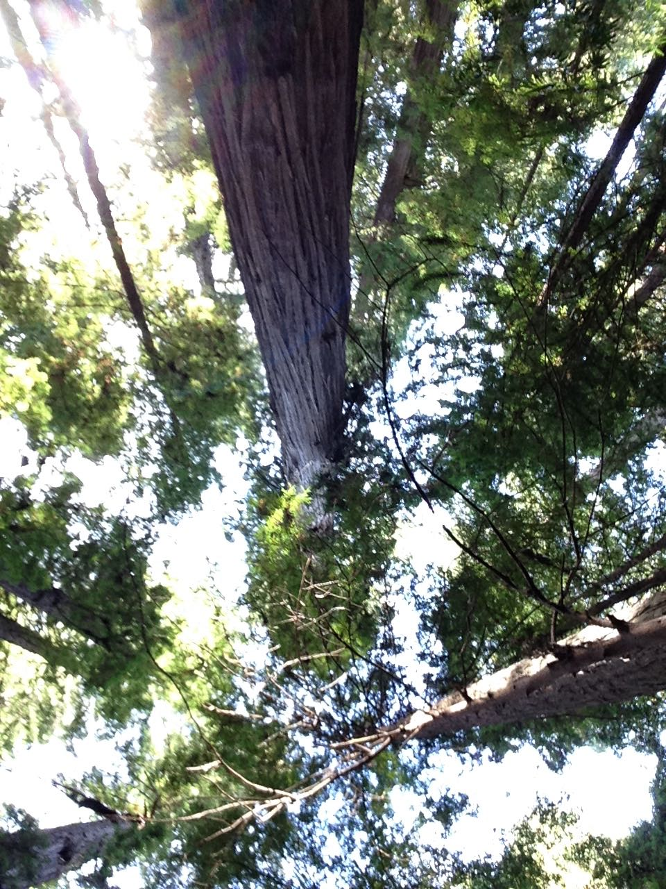 Redwoods 2017 10 08 57 Of 287