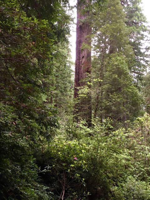 2018 05 20 Redwoods 226