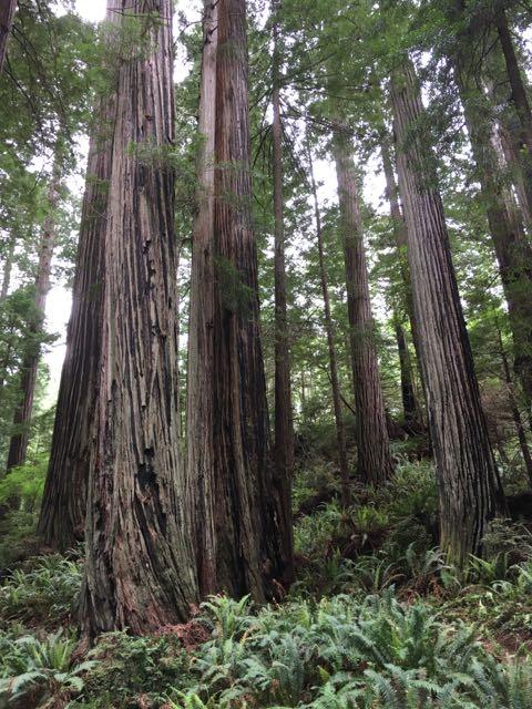 2018 05 20 Redwoods 228