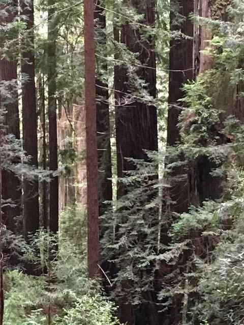 2018 05 20 Redwoods 231