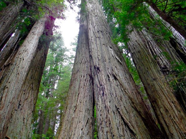 2018 05 20 Redwoods 242