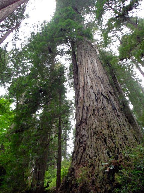 2018 05 20 Redwoods 243