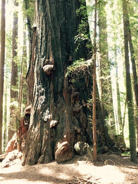 2018 05 20 Redwoods 48