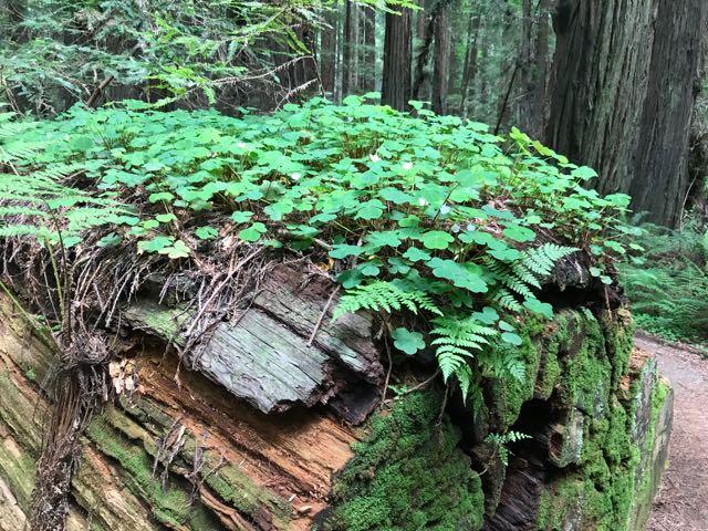 2018 05 20 Redwoods 52