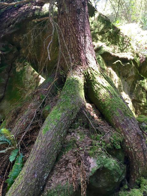 2018 06 03 Redwoods 180