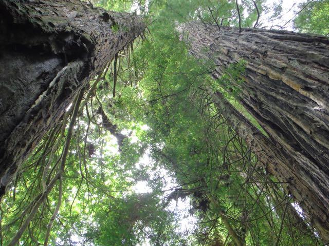 2018 06 03 Redwoods 229