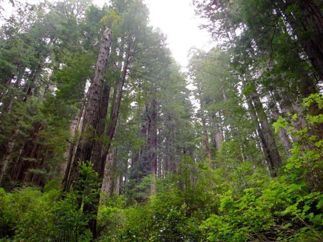 2018 06 03 Redwoods 235