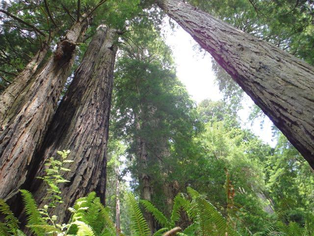 2018 06 03 Redwoods 241