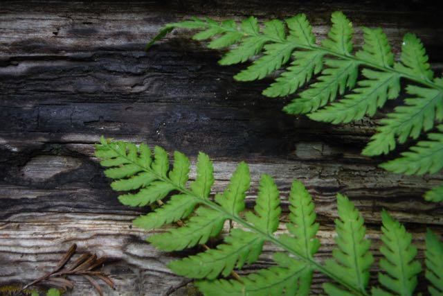 2018 06 03 Redwoods 266