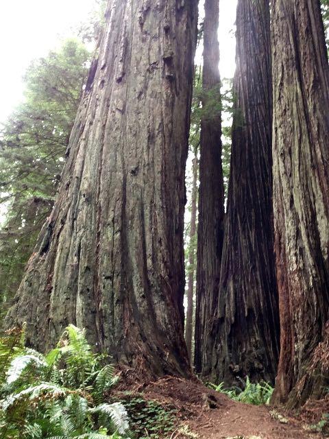 2018 06 03 Redwoods 275