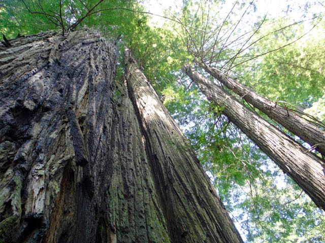 2018 06 03 Redwoods 276