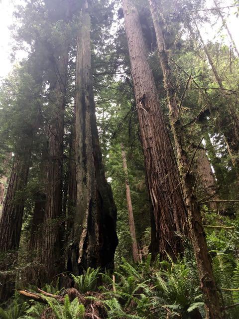2018 06 03 Redwoods 278