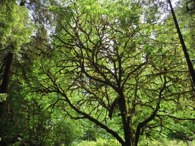 2018 06 03 Redwoods 280