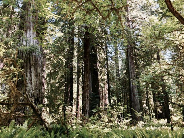 2018 06 03 Redwoods 287