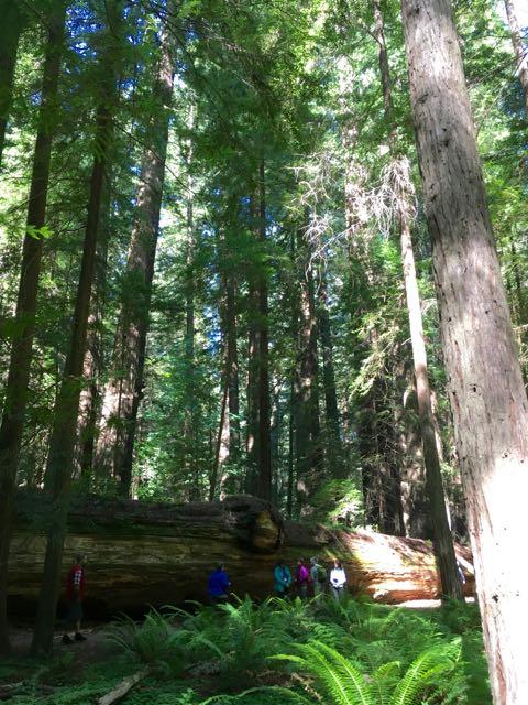2018 06 03 Redwoods 31