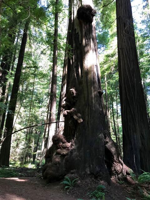 2018 06 03 Redwoods 34