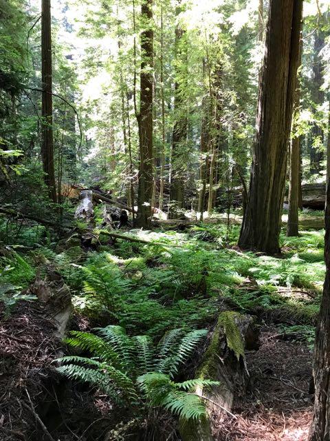 2018 06 03 Redwoods 35