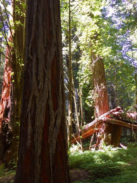 2018 06 03 Redwoods 41