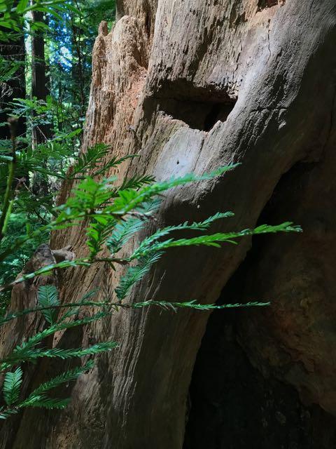 2018 06 03 Redwoods 45