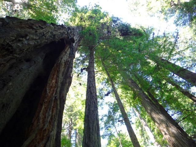 2018 06 03 Redwoods 49