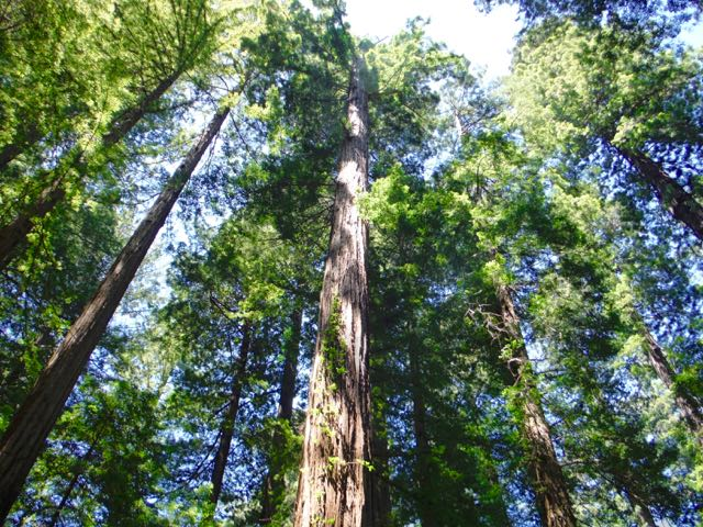 2018 06 03 Redwoods 55