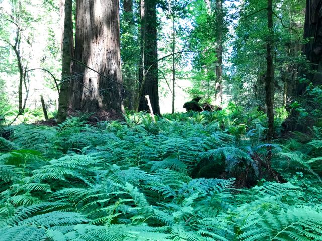 2018 06 03 Redwoods 59