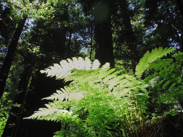 2018 06 03 Redwoods 61