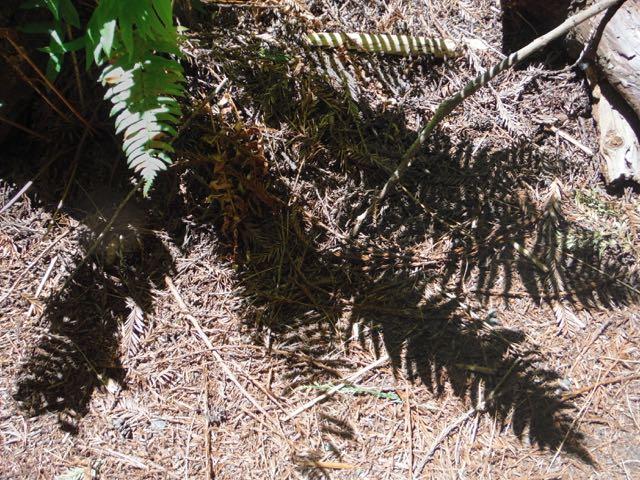 2018 06 03 Redwoods 64