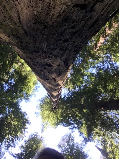 2018 06 03 Redwoods 9