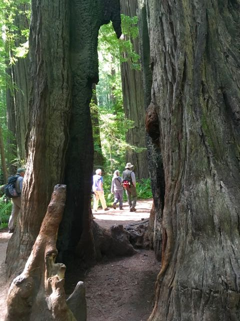 2018 06 14 Redwoods 21
