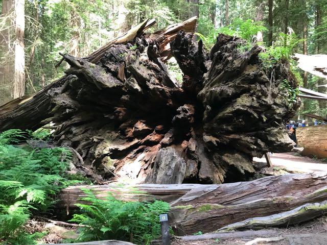 2018 06 14 Redwoods 23