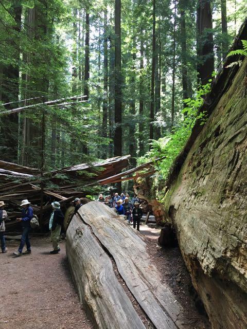 2018 06 14 Redwoods 31