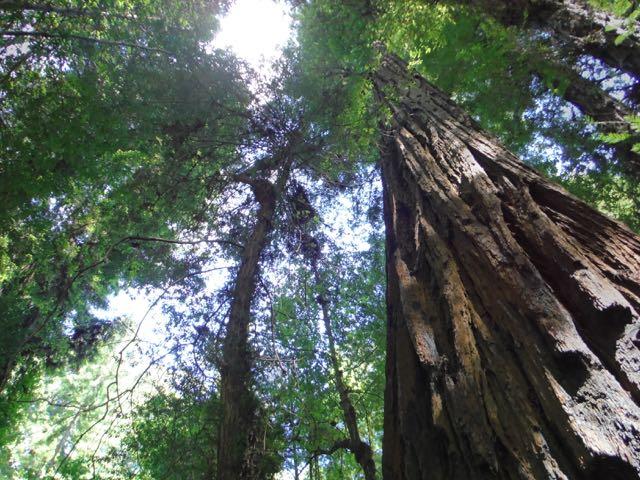 2018 06 14 Redwoods 55